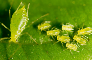 Aphids and there remedies in hibiscus and other house plants