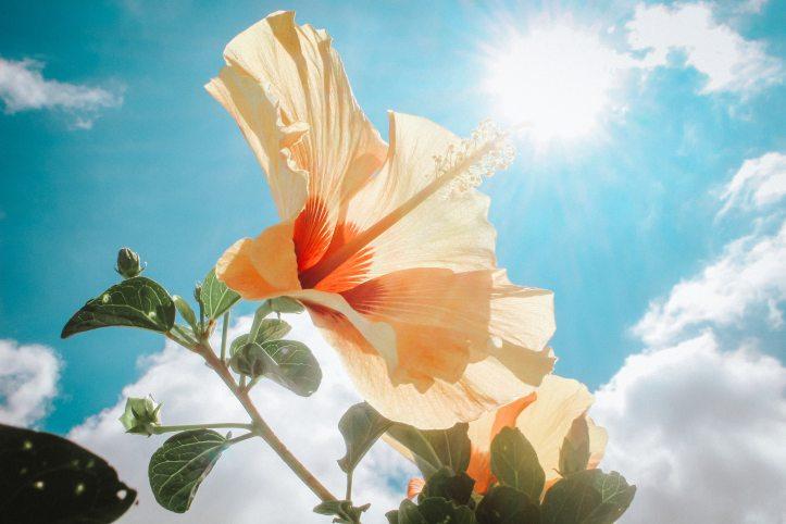 Hibiscus Plant pest control in  chennai