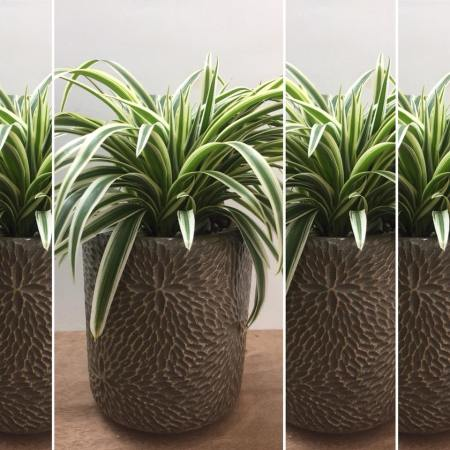 Chlorophytum also known as the spider plant is a good house plant and is suitable for container gardening.