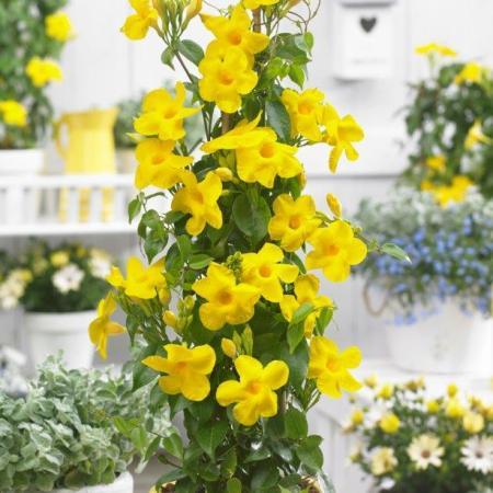 Alamanda plant care and its propagation
