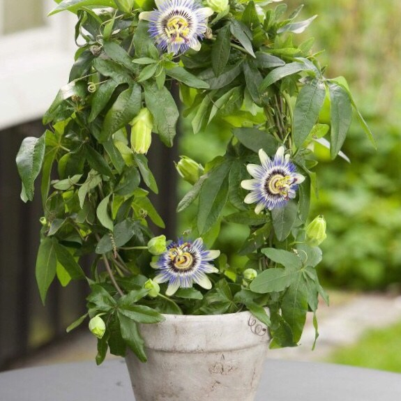 Passiflora creeper of climber best house plant that is easy to grow