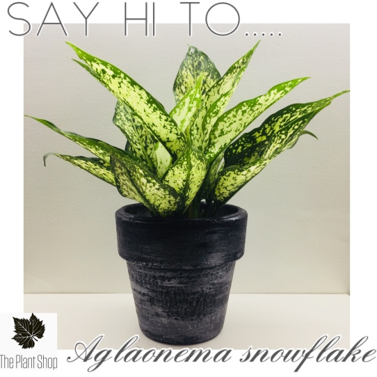 Aglaonema snowflakes or the snow white also known as the Chinese evergreen.