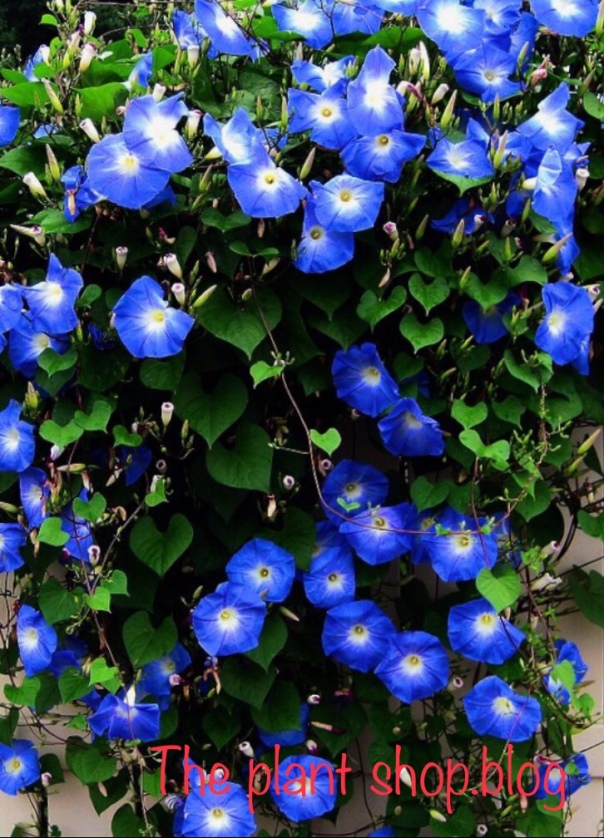 Ipomoea or the morning glory plant suitable as a climber