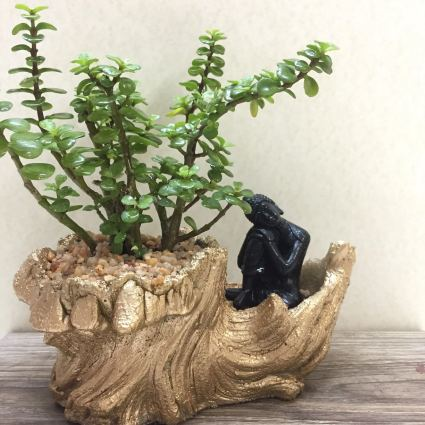 Jade plant care and online sales